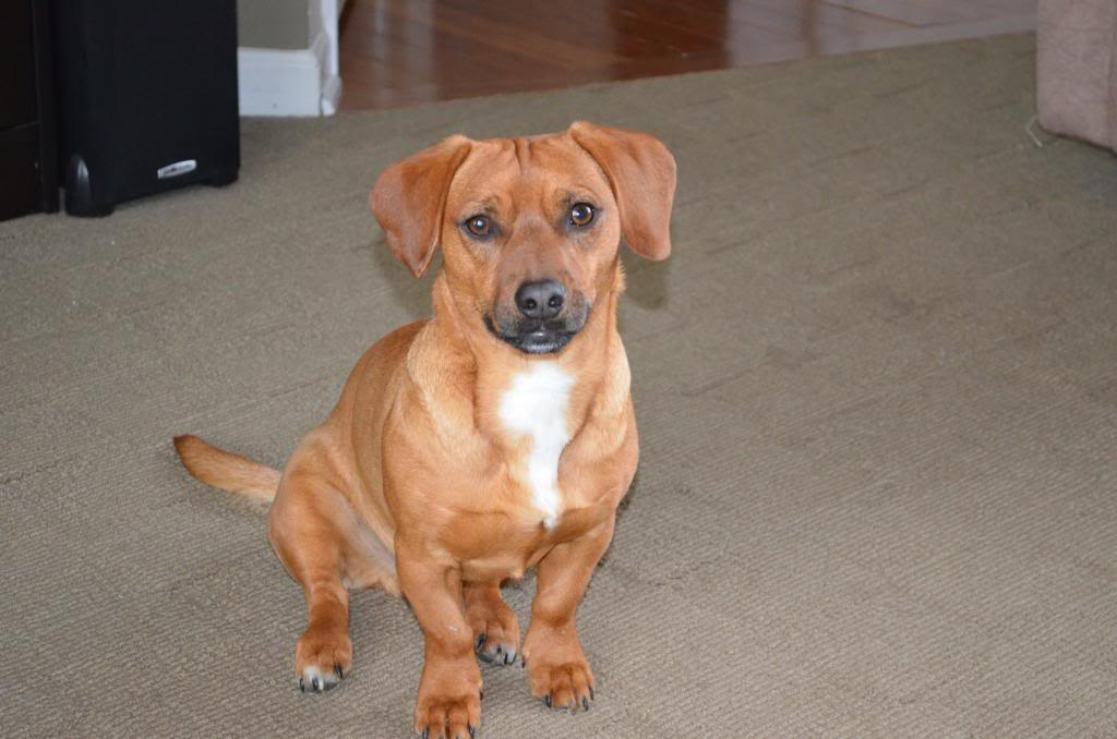 What does a rhodesian ridgeback look like 10