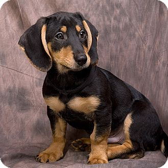 Beagle Dachshund Terrier Mix