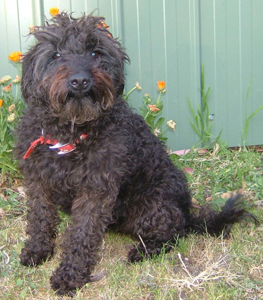 Schnoodle Schnauzer Poodle Mix Info Puppies Temperament Pictures Video