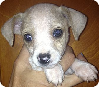 Chihuahua Beagle Mix Puppies Cheap Beagle Puppies For Sale Uk Pictures ...