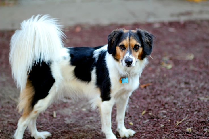 border beagle border collie x beagle mix info