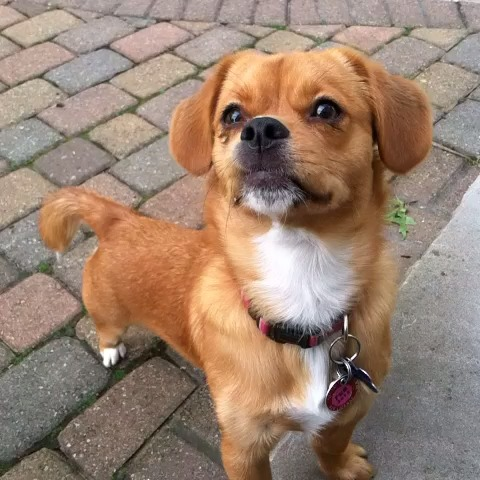 Peagle (Beagle-Pekingese Mix) Info, Temperament, Puppies ...