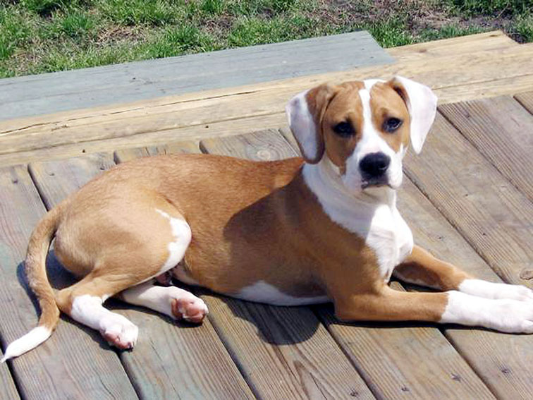 Beagle Bull (Pit Bull-Beagle Mix) Info, Puppies, Pictures