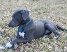 Photos of Blue Lacy
