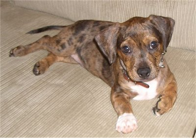 Bo Dach Boston Terrier Dachshund Mix Info Puppies Pictures