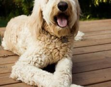 Pictures of Goldendoodle