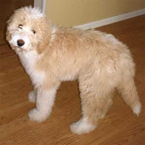 Pyredoodle Great Pyrenees Poodle Mix Info Puppies And