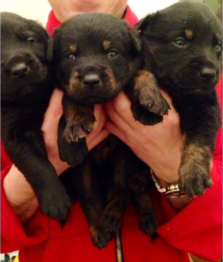 Labrottie Labrador Retriever Rottweiler Mix Info