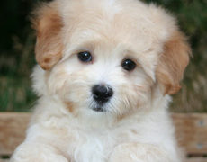 Maltipoo Pictures
