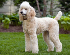 Images of Poodle