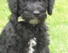 Photos of Schnoodle