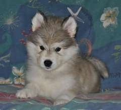 Alusky (Husky Malamute) Info, Training, Puppies and Pictures