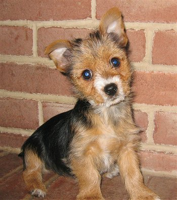 Fox Terrier Mix Puppy | www.pixshark.com - Images ...