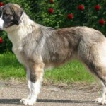 Carpathian Sheepdog (Carpathian Shepherd Dog)