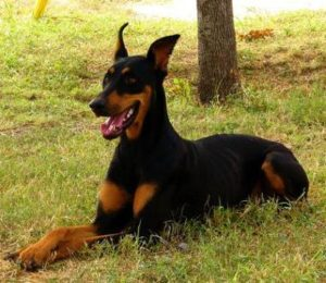 Doberman Pinscher Pictures