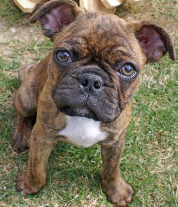 Frenchie Pug Frug French Bulldog Pug Mix Info Puppies Temperament