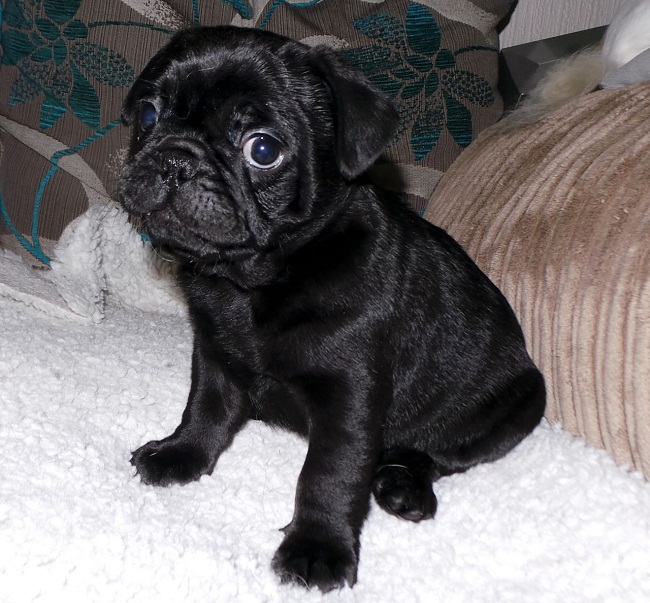 Frenchie Pug/Frug ( French Bulldog Pug Mix) Info, Puppies ...
