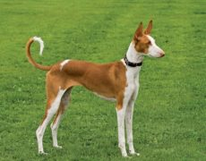 Picture of Ibizan Hound