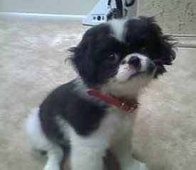 Japillon Japanese Chin X Papillon Mix Info Temperament