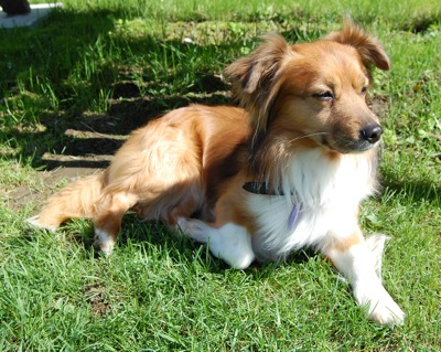 Pembroke Sheltie (Corgi X Sheltie Mix), Info, Temperament ...