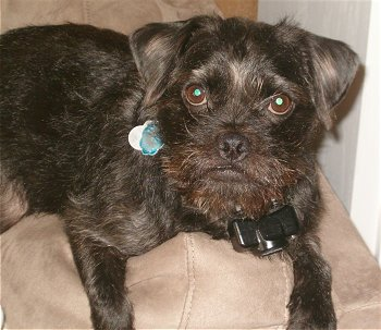 pug and yorkie mix dog pug and yorkie mix puppy pug and yorkie mix ...