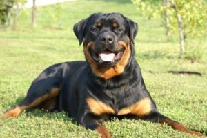 Rottweiler Images