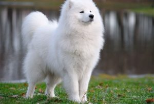 Photos of Samoyed