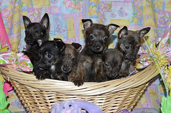 Scotchi (Scottish Terrier-Chihuahua Mix) Info and Pictures