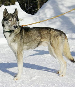 Sled Dogs 101dogbreeds