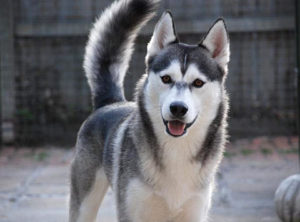 Images of Siberian Husky