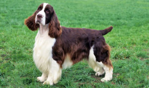 Photos of Springer Spaniel