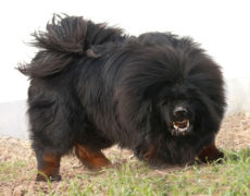 Pictures of Tibetan Mastiff