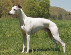 Pictures of Whippet