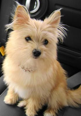 Pomeranian terrier mix pictures