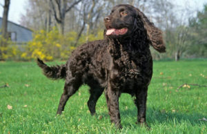 American Water Spaniel Pictures