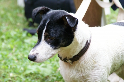 Border Jack Border Collie Jack Russell Mix Info Puppies