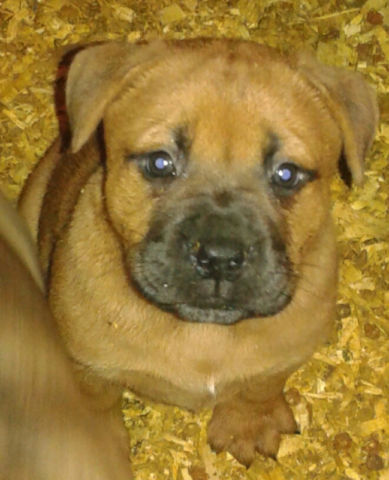Boxer Chow Boxer Chow Chow Mix Info Puppies And Pictures