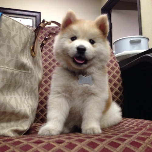 Chusky Dog (Siberian Husky Chow Mix) Info, Puppies ...