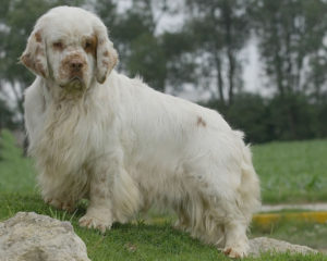 Picture of Clumber Spaniel