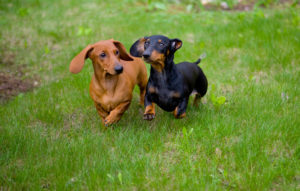 Dachshund Pictures