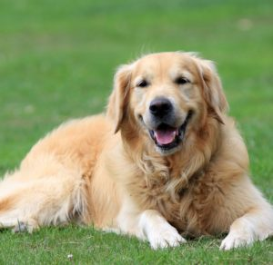 Golden Retriever Images