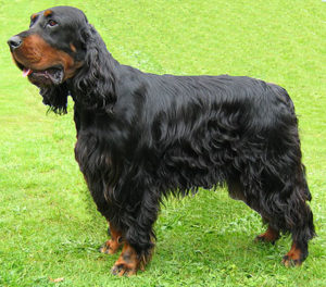 Gordon Setter Photos