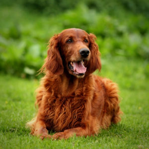 Image of Irish Setter