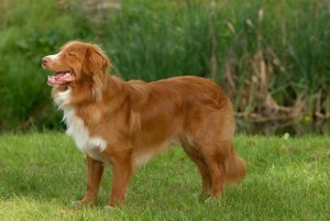 Pictures of Nova Scotia Duck Tolling Retriever