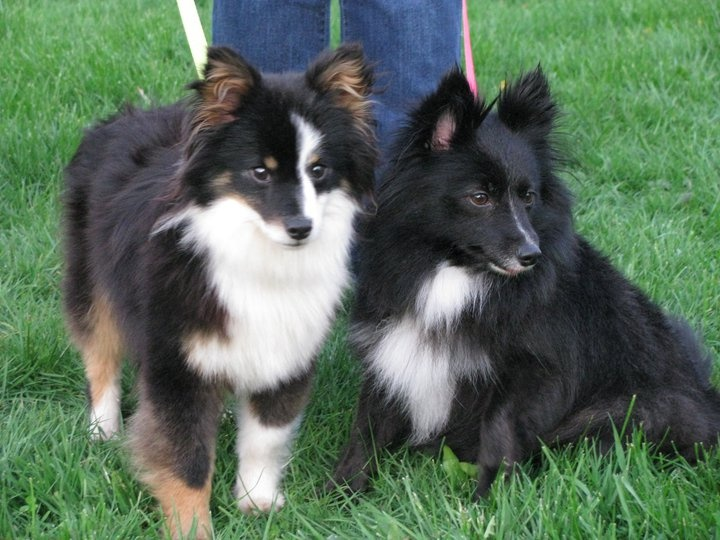 Poshie Pomeranian X Sheltie Mix Info Temperament