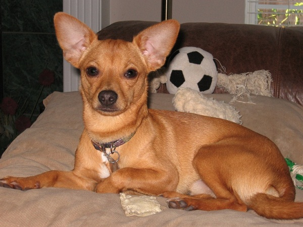 Chihuahua terrier mix characteristics