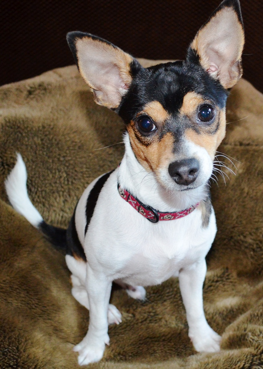 Personality traits of a rat terrier