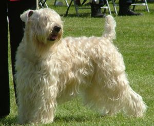 Images of Soft-Coated Wheaten Terrier