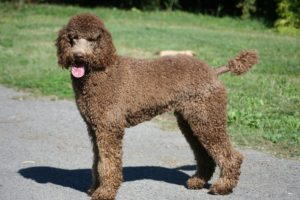 Photos of Standard Poodle