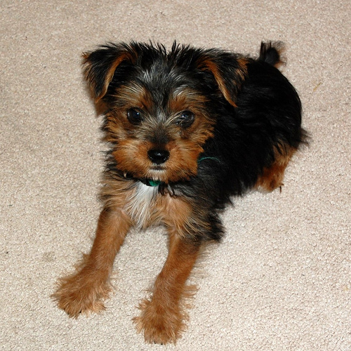 Yorkshire terrier jack russell mix puppies
